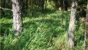 cogongrass (Imperata cylindrica)
